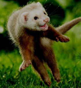 ferret language