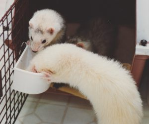 What is The Best Ferret Food?