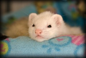 flea treatment for ferrets