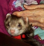 how to stop ferret biting