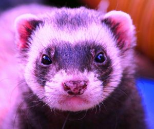 Are Ferrets Illegal in California?