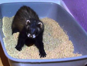 how to train a ferret to use litter box