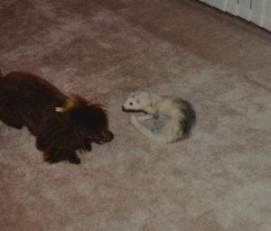 Do Ferrets Get Along with Dogs? Do Dogs Get Along with Ferrets?