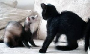 Do Ferrets Get Along with Cats?