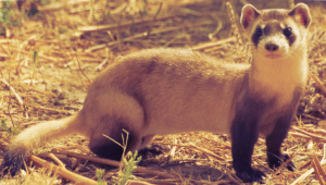 Ferret Facts--10 Common Myths About Ferrets