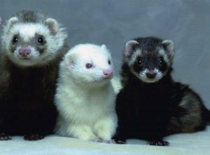 Ferret Facts For Kids and Adults