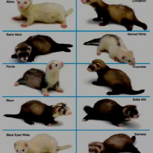 Are There Different Types of Ferrets