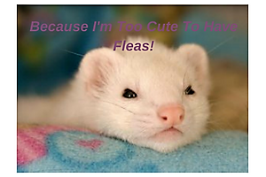 ferret flea treatment