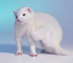 Flea Treatment For Ferrets