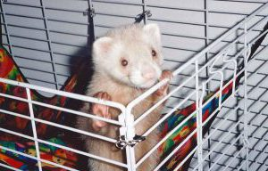 How Much Time Should a Ferret Spend In and Out of Cage