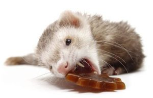 what not to feed a ferret