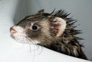 how to bathe a ferret