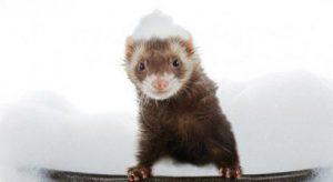 how to bathe a ferret