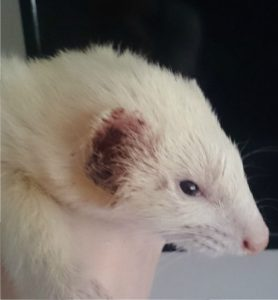 Ear mites and Ferrets