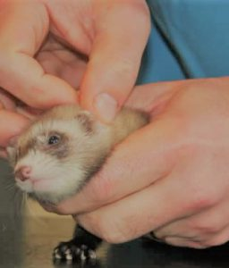 How to Clean Ferret's Ears