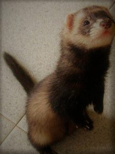 How to train a ferret to come